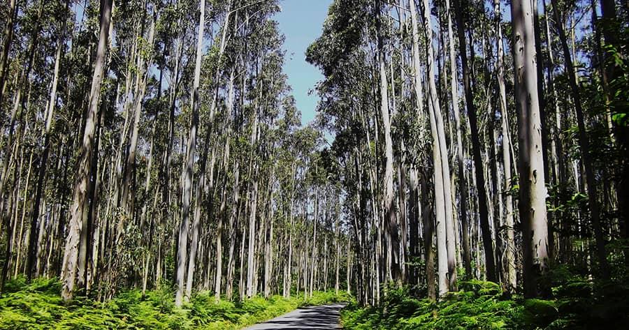Eucalipto: Os Benefícios para o Meio Ambiente